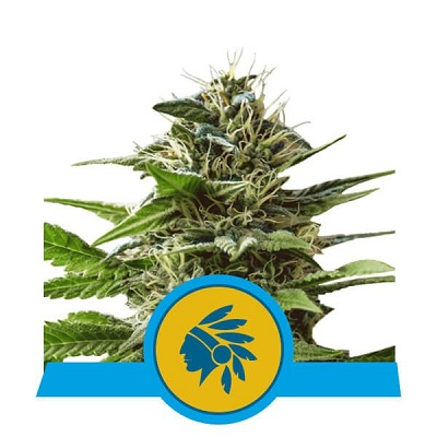 Tatanka Pure CBD > Royal Queen Seeds
