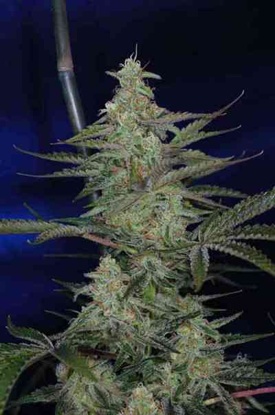 The Third Dimension > TGA Subcool Seeds