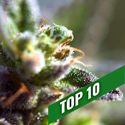 TOP 10 maximum THC auto
