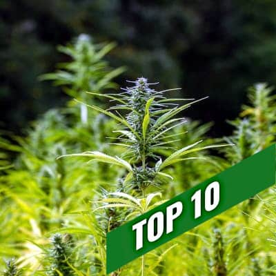 TOP 10 fast strains