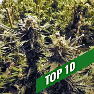 Cannabis seeds recommendations | TOP 10 Feminized
