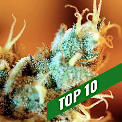 Recommandations sur les graines de cannabis | TOP 10 maximum THC