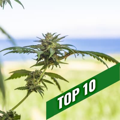 Cannabis seeds recommendations | TOP 10 Outdoor Strains