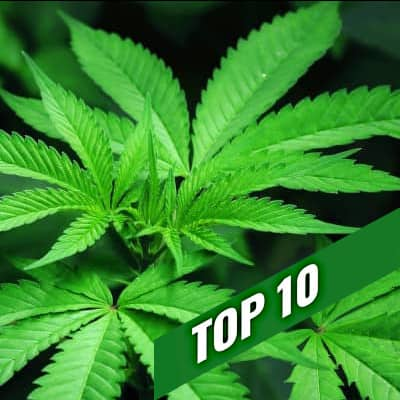TOP 10 semillas sativas