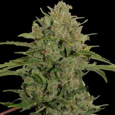 Triple Cheese Seed > Barney\'s Farm