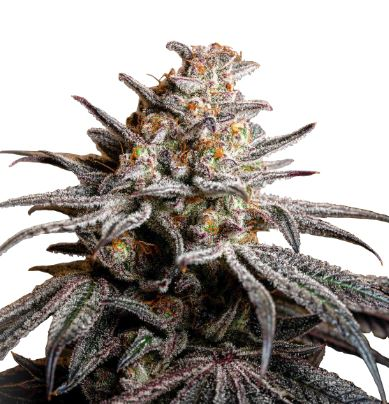 Tropicanna Cookies > Linda Seeds