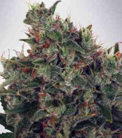 Ultra White Amnesia Seed > Ministry of Cannabis