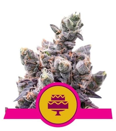 Wedding Gelato (USA Premium) > Royal Queen Seeds