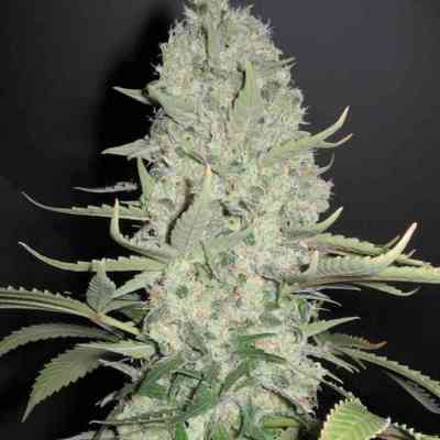 White Widow x Big Bud > Female Seeds