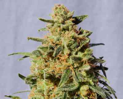 White Domina > Kannabia Seeds