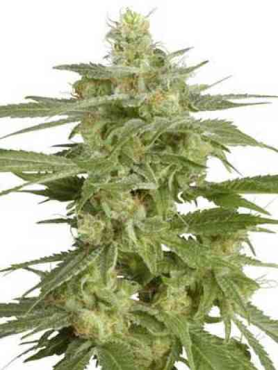 Holland`s Hope > White Label Seeds