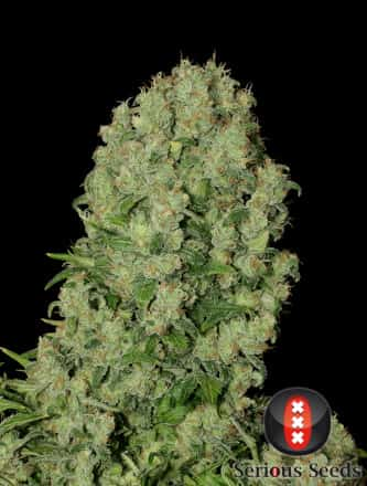 White Russian > Serious Seeds