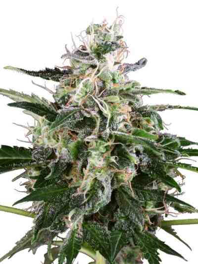 White Skunk Automatic > White Label Seeds