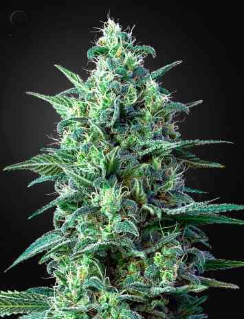 White Widow Automatic CBD > Green House Seed Company