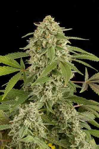 White Widow Autoflowering > Dinafem Seeds