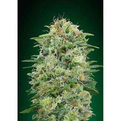 White Widow CBD Samen > 00 Seeds Bank