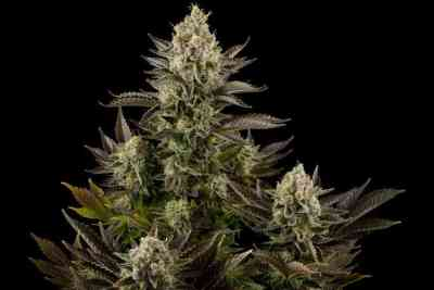 White Widow Seed > Dinafem Seeds