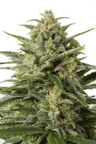 White Widow XXL Autoflowering > Dinafem Seeds