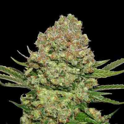 White Widow Samen > Seed Stockers
