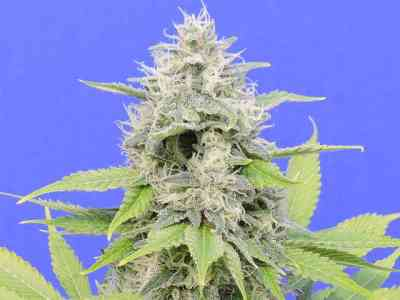 Zkittzy Gorilla > Original Sensible Seeds